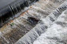 Salmon Navigating A Fish Ladder Stock Image