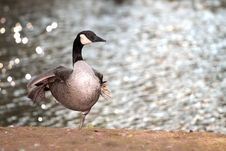 Free The Goose Royalty Free Stock Images - 6919659
