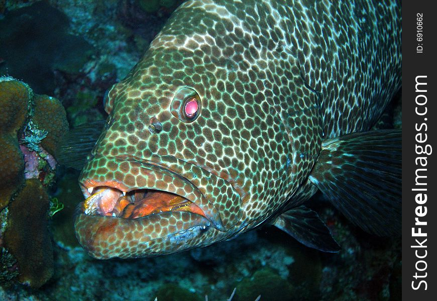 Grouper and teeth, Grand Cayman