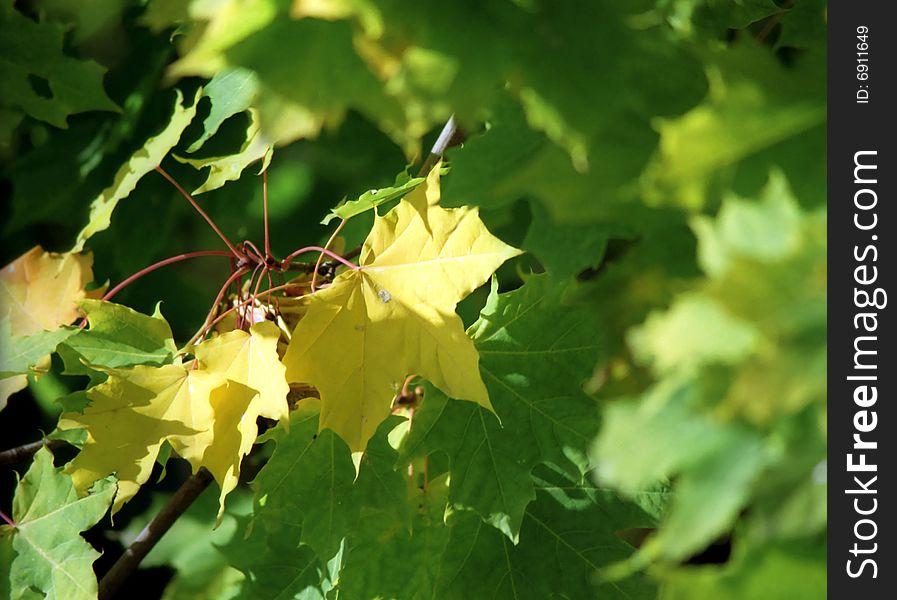 Maple autumn leaves-5