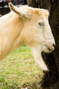 Free Domestic Male Goat Stock Photography - 6923812