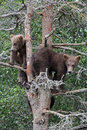 Free 3 Grizzly Cubs In Tree 8 Royalty Free Stock Photo - 6926455