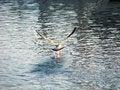 Free Seagull Royalty Free Stock Photos - 6929038