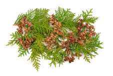 Thuja Coniferous Plant Royalty Free Stock Image