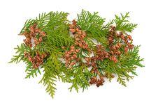 Free Thuja Coniferous Plant Royalty Free Stock Image - 6920026