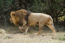 Free Cape Lion Stock Photography - 6921802