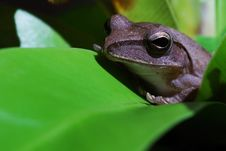 Free Small Toad Royalty Free Stock Photos - 6921818