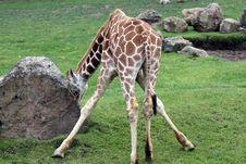 Giraffe From Behind Stock Image