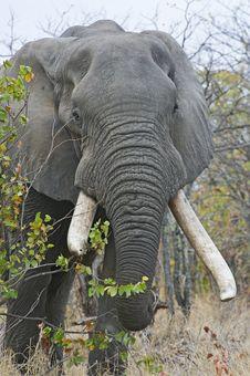 Free Heavy Ivory Royalty Free Stock Photography - 6922387