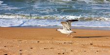 Free Sea Gulls Royalty Free Stock Photos - 6922618