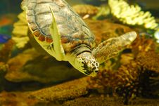 Free Sea Turtle Royalty Free Stock Images - 6923209