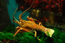 Free Big Crayfish Stock Image - 6923571