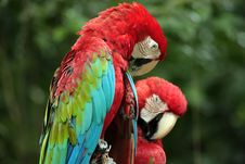 Free Red Parrots Stock Photos - 6924023
