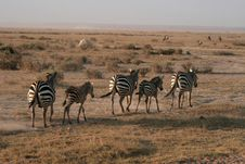 Free Zebras In Amboseli Royalty Free Stock Photo - 6924285