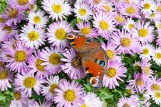 Free Butterfly On Flowers Stock Photography - 6924682