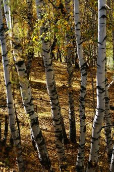 Free Birch Wood Forest Stock Image - 6924861