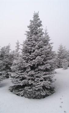 Free Frozen Spruce Royalty Free Stock Photos - 6925168