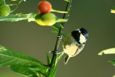 Birds Coal Tit. Stock Photography