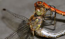 Free Dragonfly Royalty Free Stock Photography - 6927707