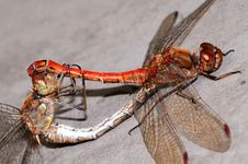 Free Dragonfly Royalty Free Stock Images - 6927799