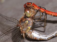 Free Dragonfly Royalty Free Stock Photography - 6927807