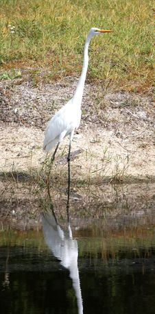 Free Bird Walking In Water Royalty Free Stock Photography - 6928957