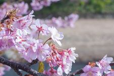Free Cherry Blossom Stock Image - 69259651
