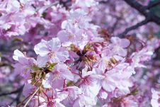 Free Cherry Blossom Royalty Free Stock Photography - 69259667