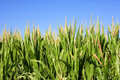 Free Field Of Corn With A Blue Sky Royalty Free Stock Image - 6932666