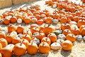 Free Pumpkin Patch Stock Photo - 6932870