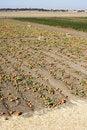Free Pumpkin Patch Royalty Free Stock Photo - 6933315