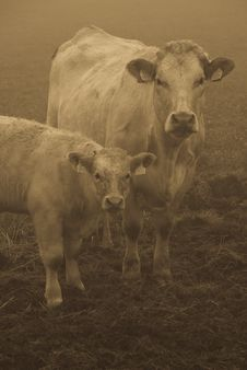 Free Cow And Calf Royalty Free Stock Image - 6930116