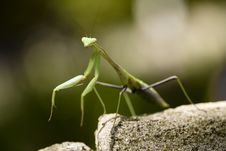 Free Praying Mantis Royalty Free Stock Photography - 6930297