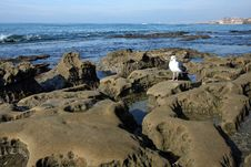Free La Jolla Tidepools & Seagull Royalty Free Stock Images - 6931939