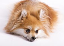 Free Resting Pomeranian Royalty Free Stock Images - 6931989