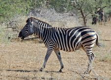 Free Burchell S Zebra (Equus Quagga Burchelli) Royalty Free Stock Photos - 6932138