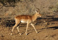 Free Africa Wildlife : Impala Royalty Free Stock Photo - 6932155