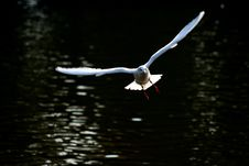 Free White Seagull In Flight Stock Images - 6932644
