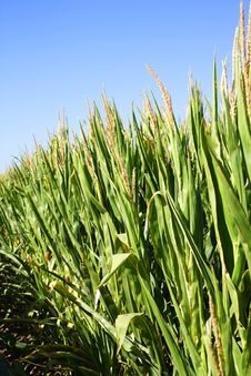 Free Field Of Corn With A Blue Sky Stock Image - 6932701