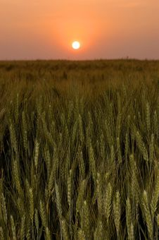 Free Sunrise Over A Wheat Field Royalty Free Stock Photography - 6933057