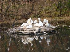 Island Of Curly Pelicans Pelecanus Crispus Stock Images