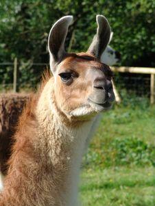 Free Lama Close Up Looking At Camera Royalty Free Stock Photo - 6933225