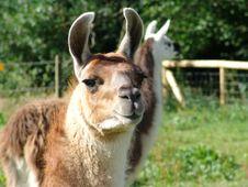 Free Lama Looking At Camera Royalty Free Stock Photos - 6933238