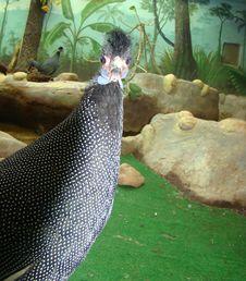 Free Hohlatye Guinea Fowls Guttera Wagler Stock Image - 6933261