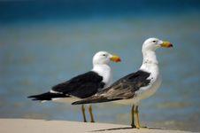 2 Big Seagulls Stock Image