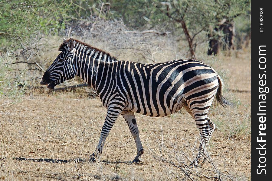 Burchell s Zebra (Equus quagga burchelli)