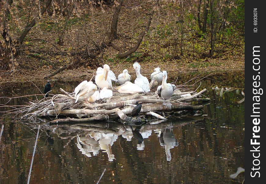 Island of curly pelicans Pelecanus crispus