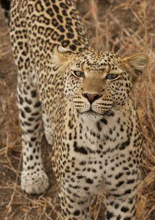 Free A Leopard Preparing A Strike. Stock Photo - 6950690