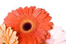 Beautiful Daisy Royalty Free Stock Photos