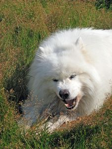 Free Samoyed Pedigree Dog Royalty Free Stock Photos - 6972138